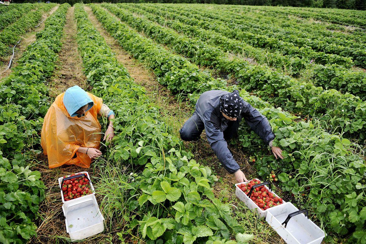 """Sektorijohtaja Rosqvist: """"Toivottavasti kotimainen työvoima löytää maatalousalat"""""""